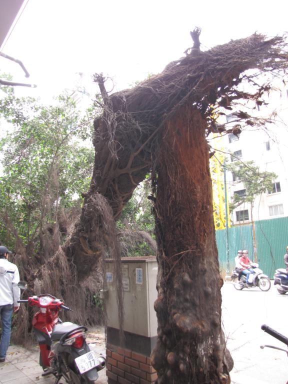 Hà Nội: Cây cổ thụ gãy đổ trên phố - ảnh 4