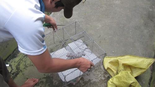 Một người dân thị trấn Kiên Lương (huyện Kiên Lương, Kiên Giang) rất thất vọng vì nhiều ngày bỏ công việc đồng áng nhưng chỉ săn được con tắc kè có trọng lượng gần 200g. Ảnh: N.K. (Tuổi Trẻ)
