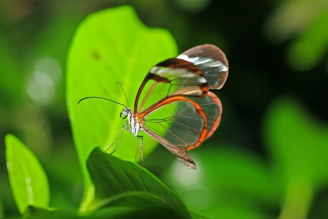 Lạ với loài bướm trong suốt đẹp lung linh - ảnh 9