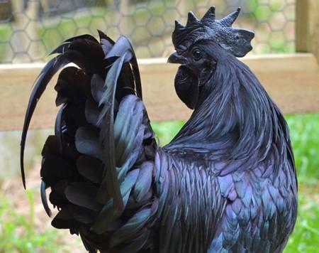 Không có giống gà nào trên thế giới có dáng vẻ qúy phái như Ayam Cemani, với màu đen từ chân, da, lông, mào, mỏ, mắt… cho đến thịt