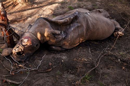 Đây là con tê giác đã bị chết trong tình trạng mất sừng ở vườn quốc gia Kruger, Nam Phi