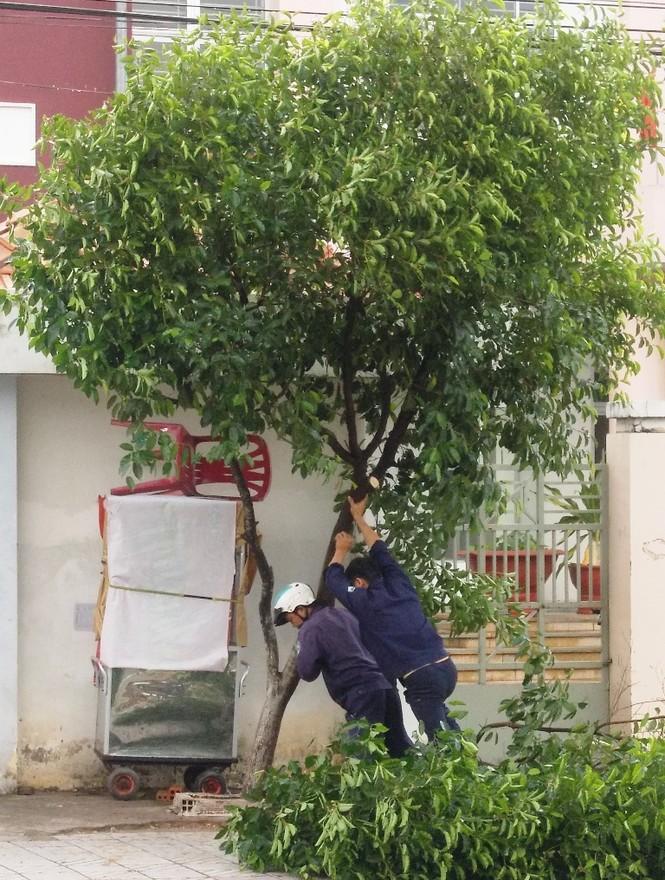 công nhân cây xanh đang dựng lại nhiều cây xanh bị ngã trên đường Lê Hồng Phong