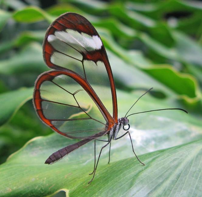 Lạ với loài bướm trong suốt đẹp lung linh - ảnh 5