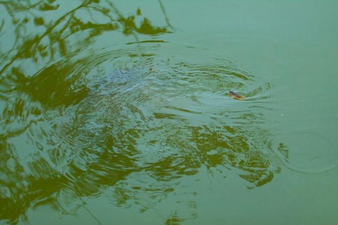 Chùm ảnh: Rùa hồ Gươm lại nổi - ảnh 7