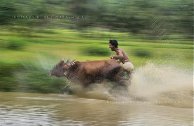Độc đáo lễ hội 'lướt' bò ở Ấn Độ - ảnh 3