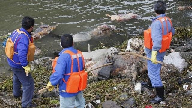 Chủ trang trại vứt 6.000 xác lợn chết xuống sông - ảnh 2