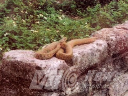 Ngàn người vái một con rắn: Chuẩn bị dựng miếu! - ảnh 2