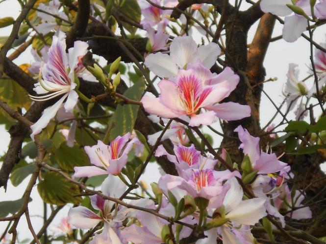 Giới trẻ Hà thành hào hứng với mùa hoa ban - ảnh 4