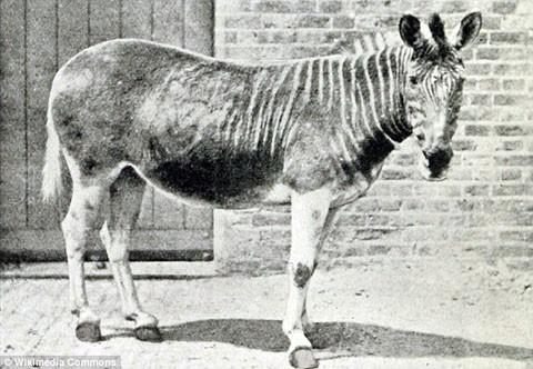 Ngựa vằn Quagga từng sống ở Nam Phi. Cá thể hoang dã cuối cùng của loài này tuyệt chủng từ năm 1870, còn một con từng được nuôi dưỡng cũng chết năm 1883. Những sọc vằn chỉ bao phủ một nửa thân trước của ngựa vằn Quagga. Chúng bị săn lùng ráo riết do thịt, da của chúng rất có giá trị. Ảnh: Wikimedia Commons