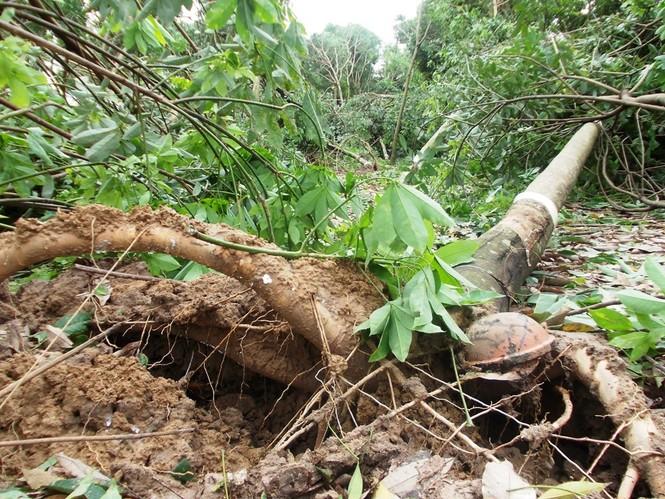 Nhiều cây cao su bị gió giật trơ gốc