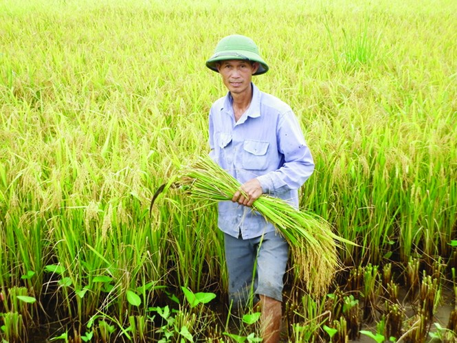 Nông dân sản xuất lúa sẽ được Chính phủ hỗ trợ tiền hàng năm