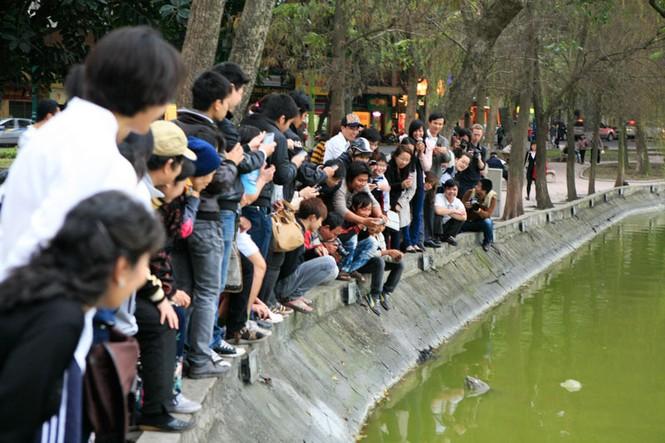 Chùm ảnh: Rùa hồ Gươm lại nổi - ảnh 6
