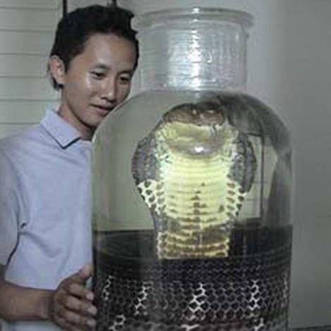 Một con mãng xà rừng U Minh nặng hơn 20 kg đã bị ngâm rượu