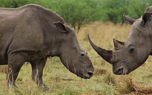 Một con tê giác trắng bị bọn săn trộm cắt sừng ở tỉnh KwaZulu-Natal, Nam Phi