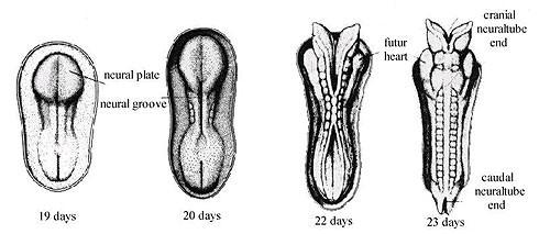 Dị tật ống thần kinh thai nhi và cách ngăn ngừa - ảnh 1