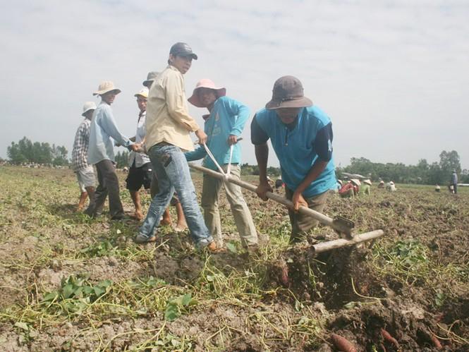Thu hoạch khoai lang ở xã Tân Thành, huyện Bình Tân Ảnh: Hoàng Trung