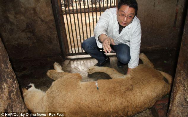 Trung Quốc: Sư tử xổng chuồng gây hỗn loạn - ảnh 2