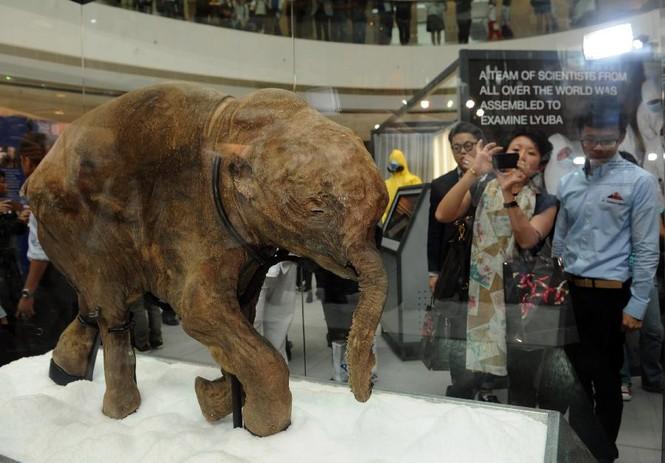 Xác voi ma mút con 10.000 năm tuổi - ảnh 2