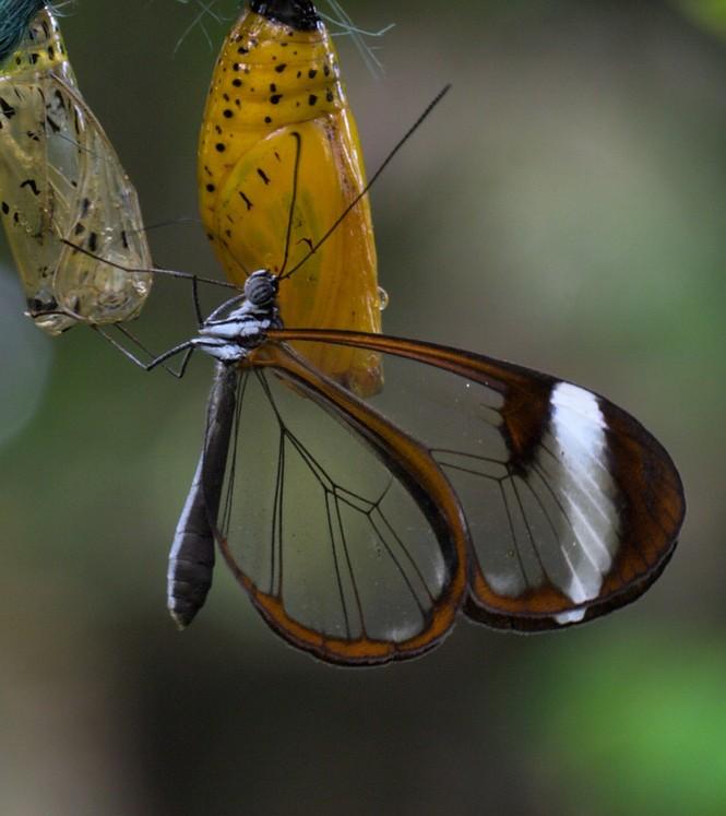 Lạ với loài bướm trong suốt đẹp lung linh - ảnh 11