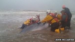 Cá voi bị mắc cạn và chết tại bờ biển Scotland - ảnh 1