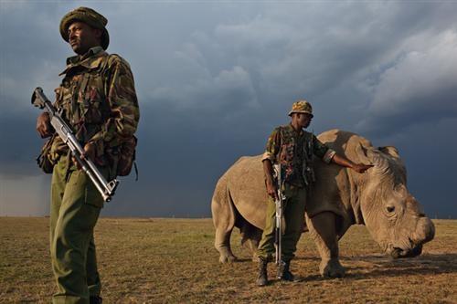 Cưa sừng sẽ ngăn chặn trộm săn tê giác.