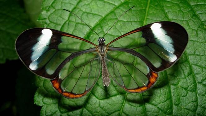 Lạ với loài bướm trong suốt đẹp lung linh - ảnh 4