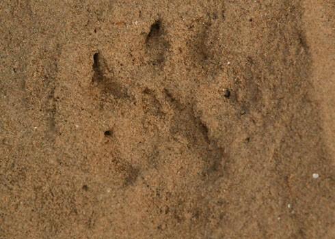 Dấu chân dã thú sáng 11-5 vẫn còn để lại tươi mới bên bờ biển. Căn cứ vào vết chân với móng vuốt giống mèo, cách xé xác và ăn thịt chó nhà, Cục trưởng kiểm lâm Quảng Ngãi Nguyễn Văn Hân cho rằng có thể thủ phạm không phải là gấu mà là báo đốm sống chuồng từ một nơi nuôi động vật hoang dã trái phép nào đó.