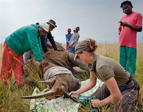 Bác sỹ thú y đang cưa sừng tê giác ở Tây Bắc, Nam Phi.