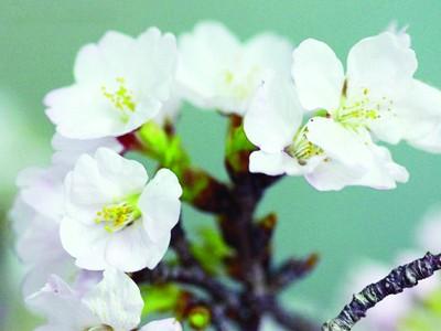 Hoa anh đào trước khi trưng bày tại lễ hội Genki Ảnh: Javicon