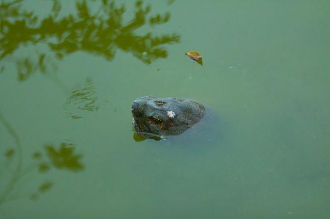 Chùm ảnh: Rùa hồ Gươm lại nổi - ảnh 4
