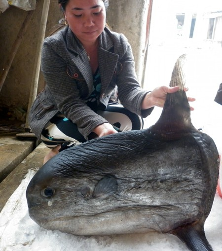 Bắt được cá Mặt trăng nặng 15kg - ảnh 2