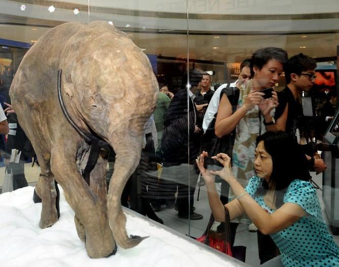 Xác voi ma mút con 10.000 năm tuổi - ảnh 1