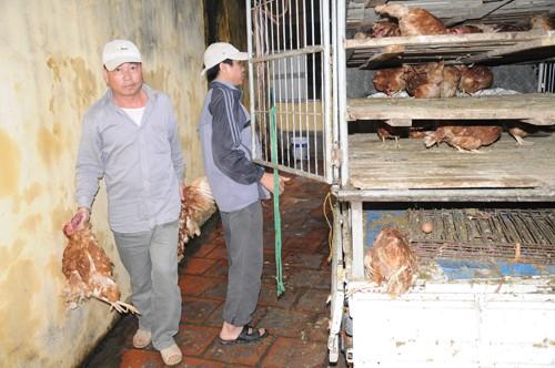 Toàn bộ số gà trên đã được cơ quan chức năng tiến hành tiêu hủy theo quy định