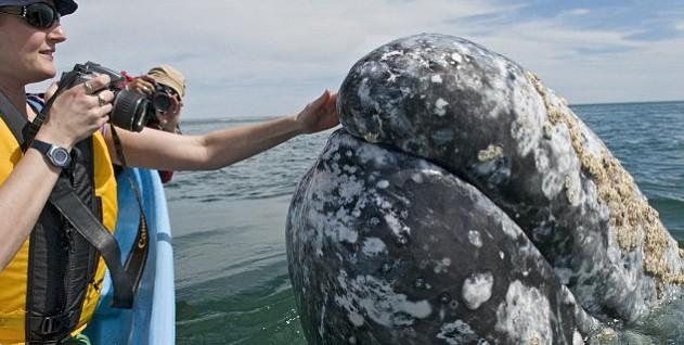Hôn cá voi ngoài biển Thái Bình Dương - ảnh 1