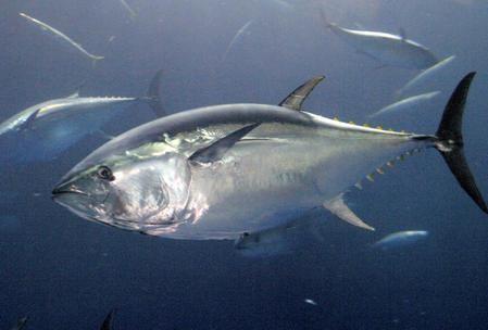Vì sao dễ ngộ độc cá ngừ? - ảnh 1