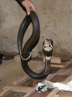 Đột nhập làng nuôi rắn hổ chúa - ảnh 3