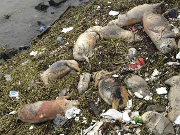 Chủ trang trại vứt 6.000 xác lợn chết xuống sông - ảnh 4