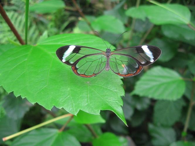 Lạ với loài bướm trong suốt đẹp lung linh - ảnh 3