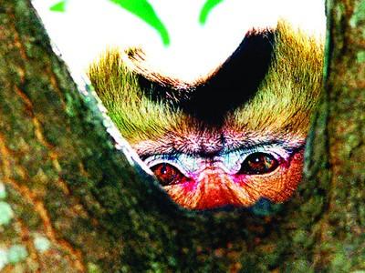 Cái nhìn ám ảnh của khỉ đầu đàn