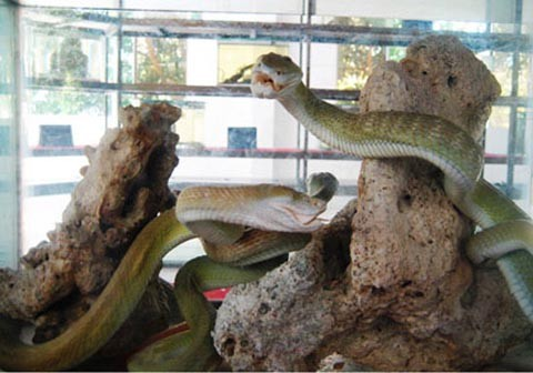 Tiêu bản rắn hổ mây ở Trại rắn Đồng Tâm. Ảnh internet