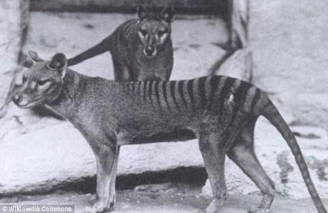 Hổ Tasmania (Thylacine) là loài thú ăn thịt có túi, bề ngoài giống như chó hoặc chó sói với sọc vằn trên lưng. Chúng từng sống ở Australia, Tasmania và New Guinea. Những năm 1800, các nông dân buộc tội chó sói có túi tấn công cừu. Vì thế, họ đã dùng súng săn, thuốc độc, hơi ngạt và bẫy để tiêu diệt chúng. Hổ Tasmania tuyệt chủng trong thế kỷ 20. Ảnh: Wikimedia Commons