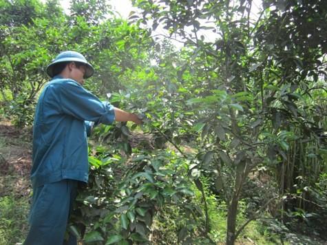 Ngày ngày, anh Tâm đi kiểm tra, chăm sóc cho từng cây trồng, từng vật nuôi như những đứa con của mình