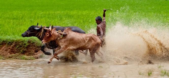 Độc đáo lễ hội 'lướt' bò ở Ấn Độ - ảnh 1