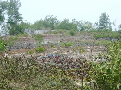 Khu đất 1,3 ha ở Mũi Cà Mau giao cho ngành công an xây nhà nghỉ đang bỏ hoang khi chặt xong rừng Ảnh: Nguyễn Tiến Hưng