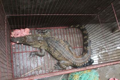 Con cá sấu nằm khá chật chội trong chiếc lồng sắt