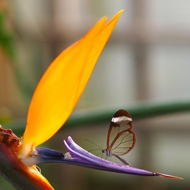 Lạ với loài bướm trong suốt đẹp lung linh - ảnh 2