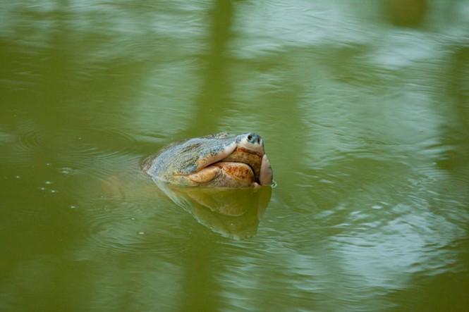 Chùm ảnh: Rùa hồ Gươm lại nổi - ảnh 1