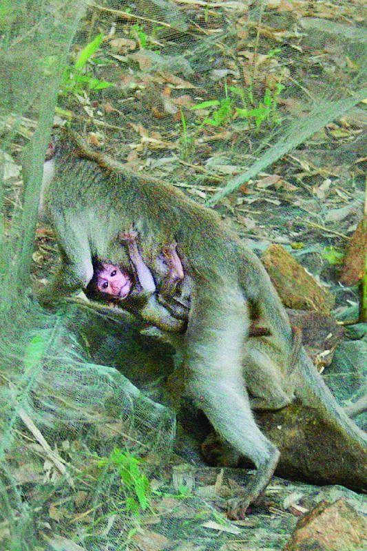 Khỉ mắc bẫy