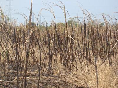 Một ruộng mía cháy của nông dân ở xã Hưng Thịnh