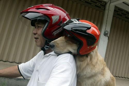 Chó đội mũ bảo hiểm ngồi sau xe như người - ảnh 2